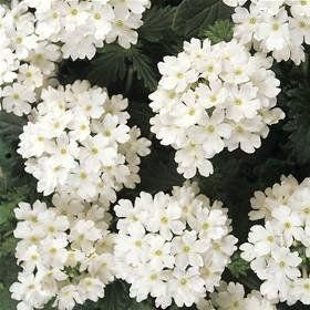 Large selection of shrubs - Lisnaskea, Enniskillen, County Fermanagh -  Manor Garden Centre - Plants