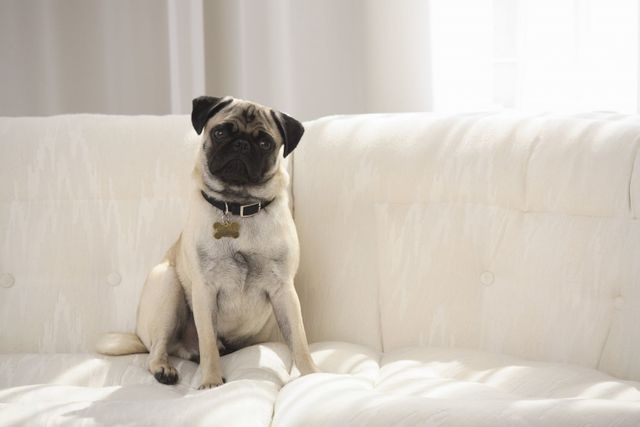 Dog sitting on clean sofa thanks to upholstery cleaners in Palmerston North