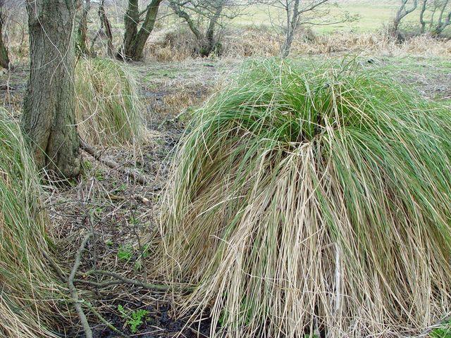 Greater Tussock-sedge Carex paniculata