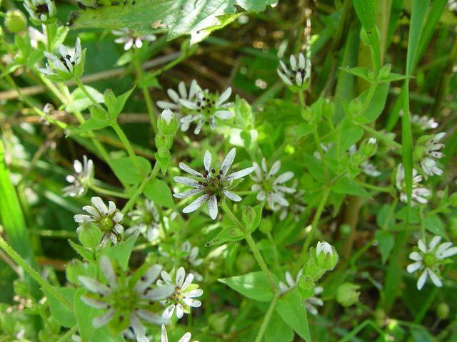 Water Chickweed (Myosoton aquaticum)