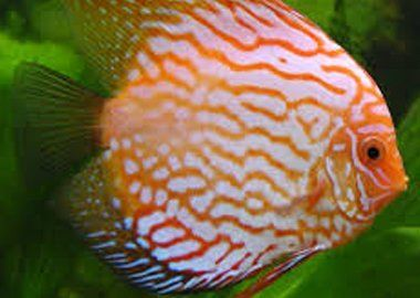 Tropical fish and cold water fish supplies in grays essex for Cold freshwater fish