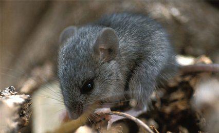 small sized rat