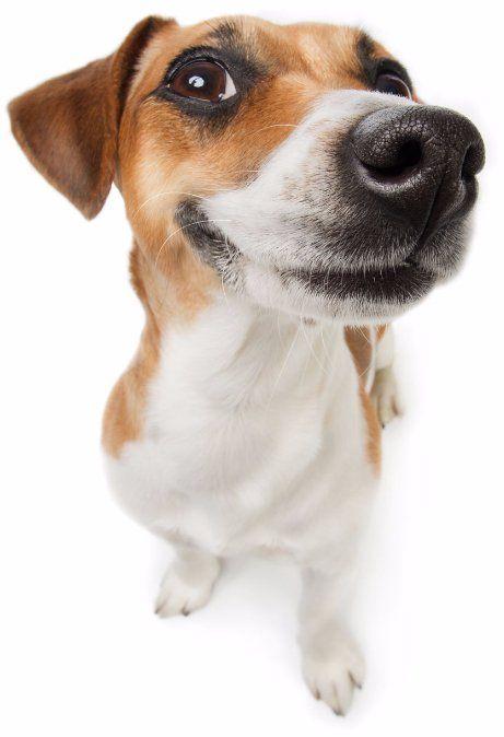 Smilling Jack Russel Terrier dog