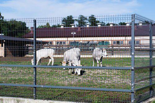 Tre mucche davanti a una fattoria recintata