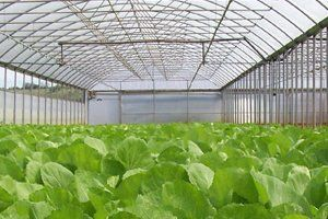 Leafy plants in a large greenhouse