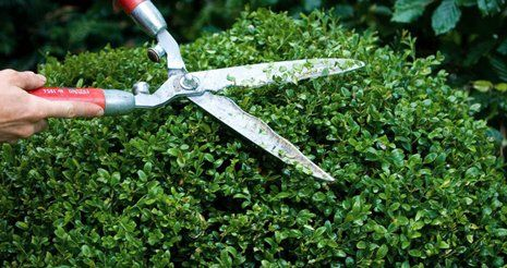 A privet hedge being cut