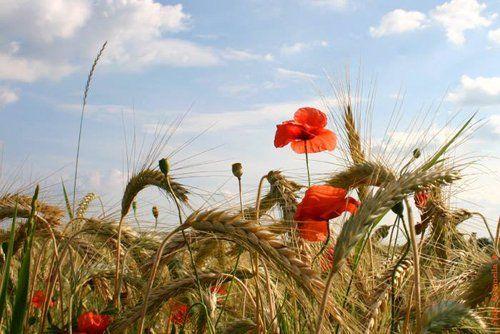 campo di grano con spighe e papaveri rossi