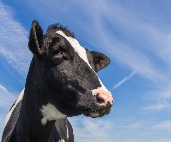 un bella mucca bianca e nera