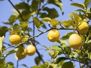 Produzione limoni