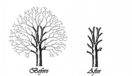 before and after tree pollarding