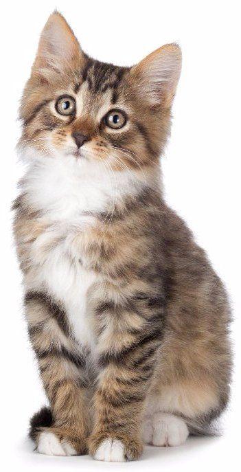 tan cat standing