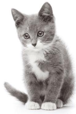 grey cat standing