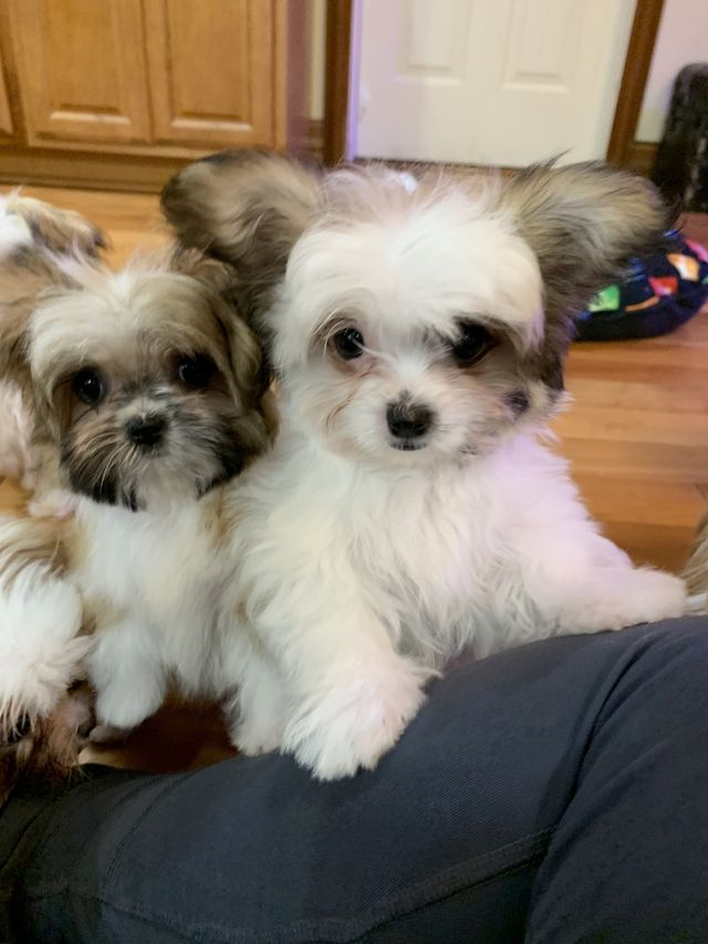 Rare Gem Mi-Kis |Miki com | Mi-Ki Puppies for Sale