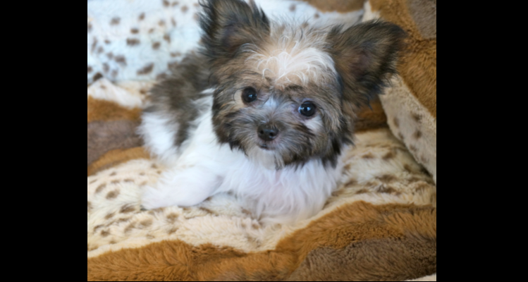 Rare Gem Mi-Kis  Miki com   Mi-Ki Puppies for Sale