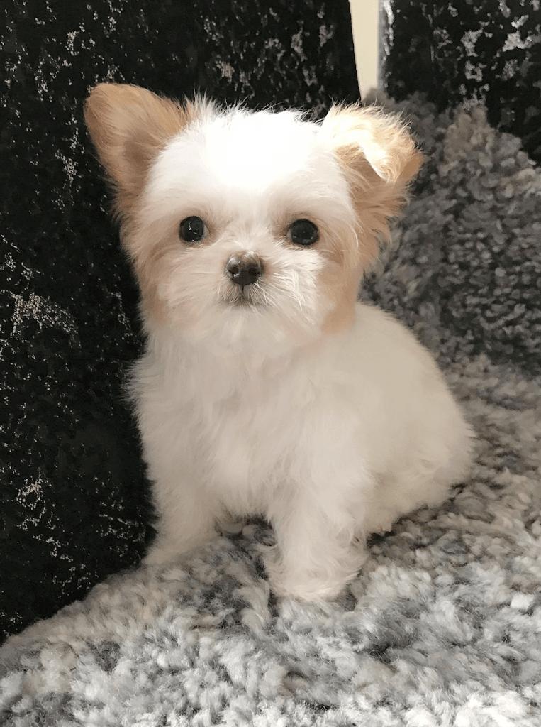 Rare Gem Mi-Kis |Miki com | Mi-Ki Puppies for Sale