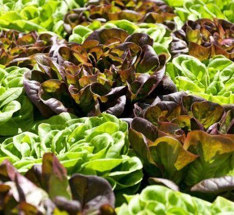 City Farm Systems lettuces