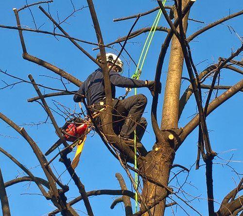 Un uomo mentre taglia rami di un albero