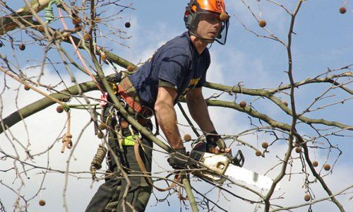A tree surgeon in a tree