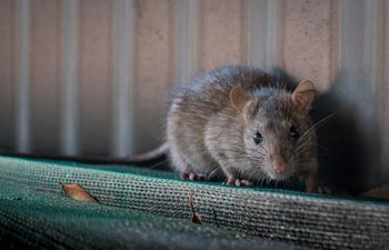 Rat Removal — Rat Crawling in Vienna, OH