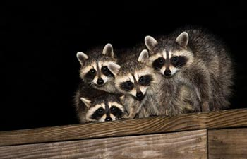 Large Animal Removal — Raccoon Family in Vienna, OH