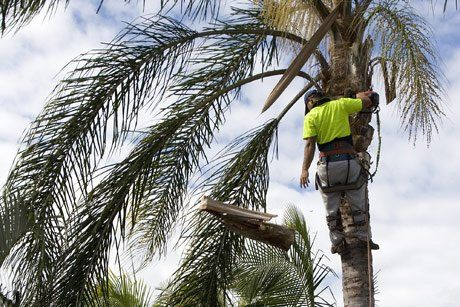 man in tree trimming palm tree