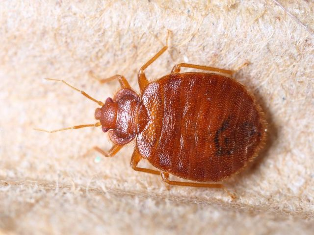 Bed Bugs San Antonio, TX