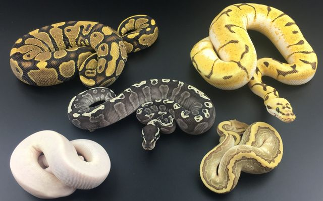 D & Jo's Pythons - snake breeders in West Yorkshire