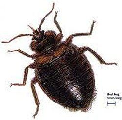 Bed Bug Buffalo, NY