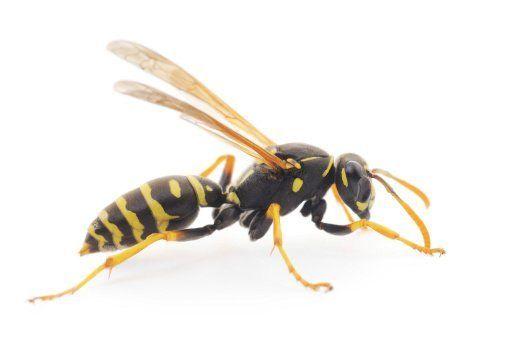 Wasp Control Buffalo, NY