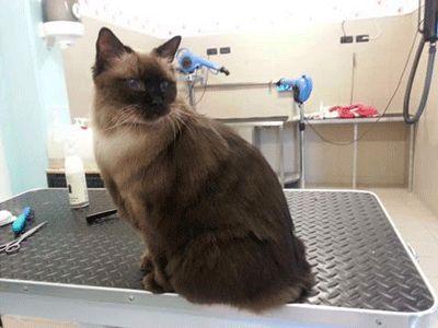 gatto sopra un tavolo da visita in un ambulatorio veterinario