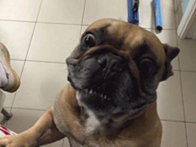 cane di razza boxer