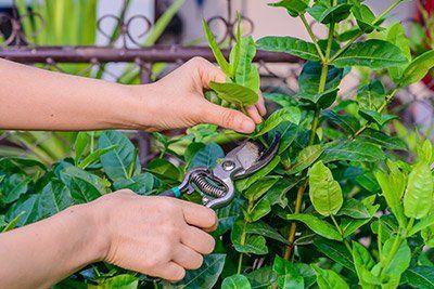 Potatura delle piante a San Felice Circeo