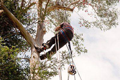 Tree climbing a San Felice Circeo