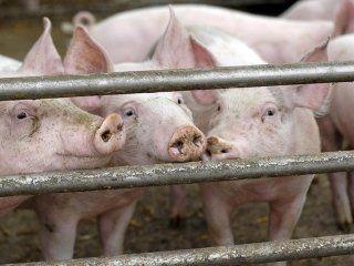 dei maiali vicino a delle sbarre