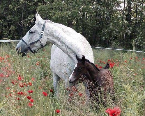 un cavallo bianco e un puledro marrone