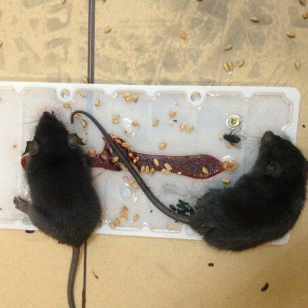 Rodent control in Dunedin