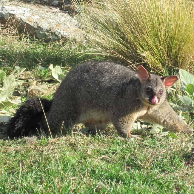 Possum eradication in Dunedin