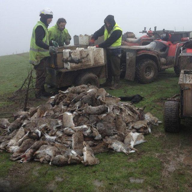 Rabbit eradication in Dunedin
