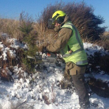 Wilding pine control in Dunedin