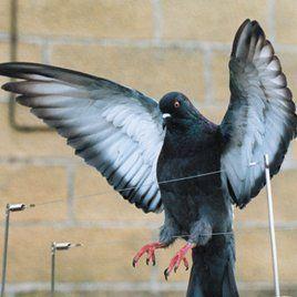 Bird control in Dunedin