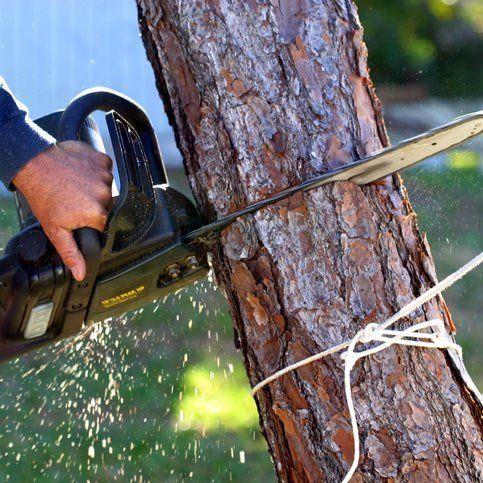 Arborist cutting small tree down with chainsaw