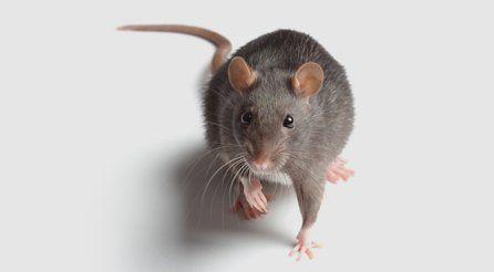 a moving rat