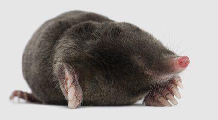 huge rat