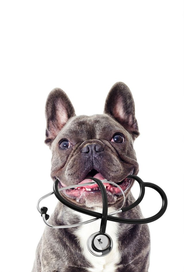 un cane con in bobba uno stetoscopio