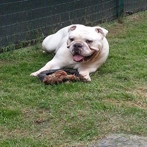cane che gioca sull`erba