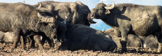 quattro bufale