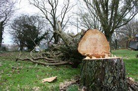 Tree felling - Stockport, South Manchester, Sale, Cheadle, Macclesfield, Bramhall, Poynton, Hazel Grove - Tall Trees - Tree felling