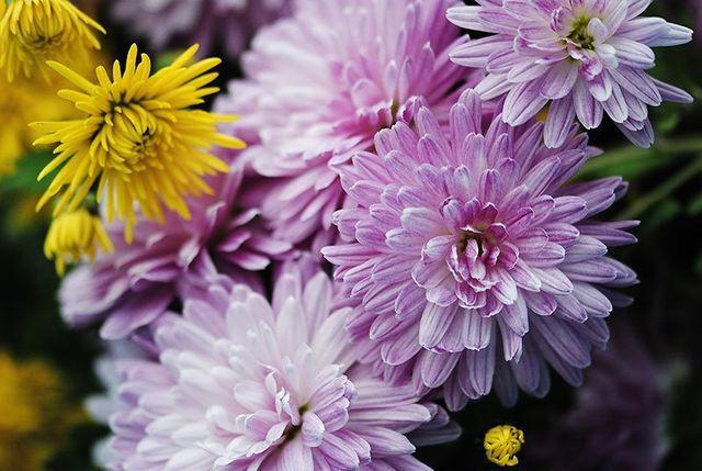 Dei crisantemi di color lilla e giallo