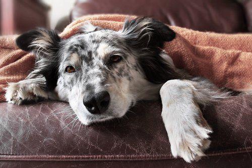 un cane sul divano