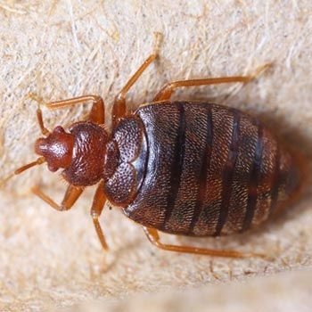 Bed Bug Services Yuma Az Ram Pest Management